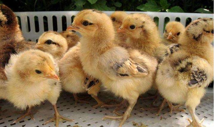 挑土鸡秘诀:鸡苗厂家来支招