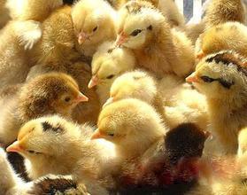 建宏孵化场从事多年土鸡苗养殖的经验