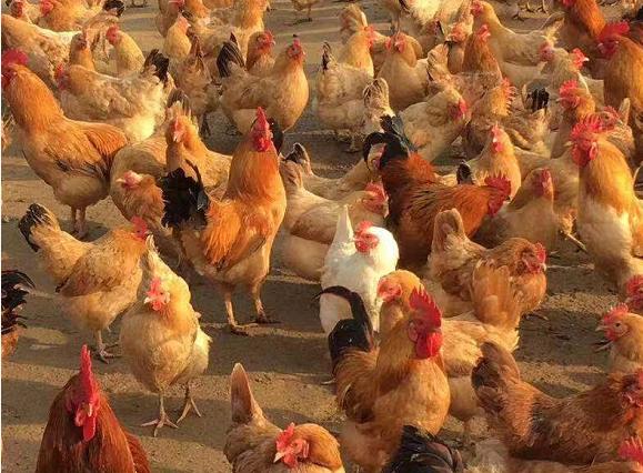 养殖户成品鸡1