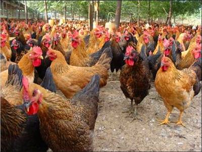 养殖户成品鸡3