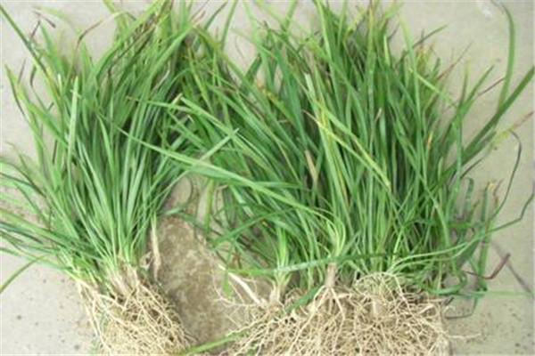 襄阳麦冬草种子什么时候播种最好?