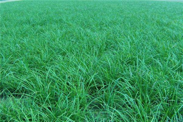 襄阳麦冬草种苗草量优质价格合理公道
