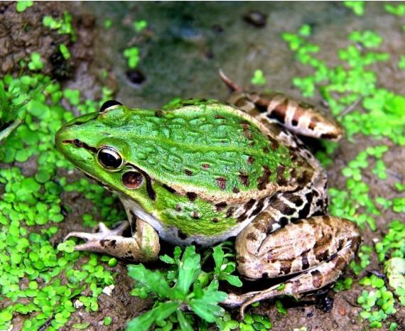 黑斑蛙展示