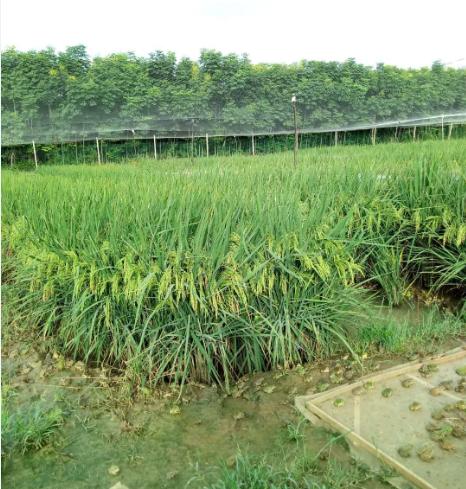 有机水稻田