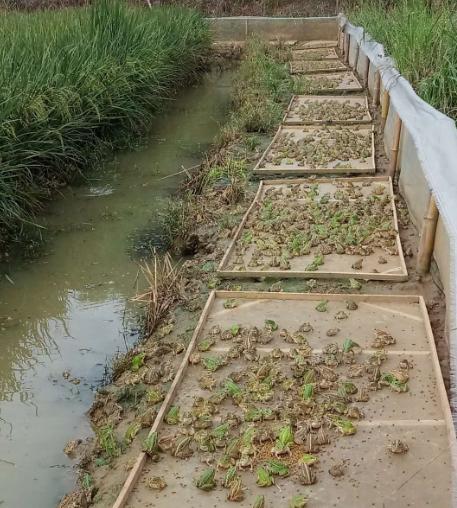 田鸡养殖基地展现
