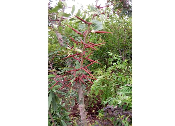 降龙木(皂角树)