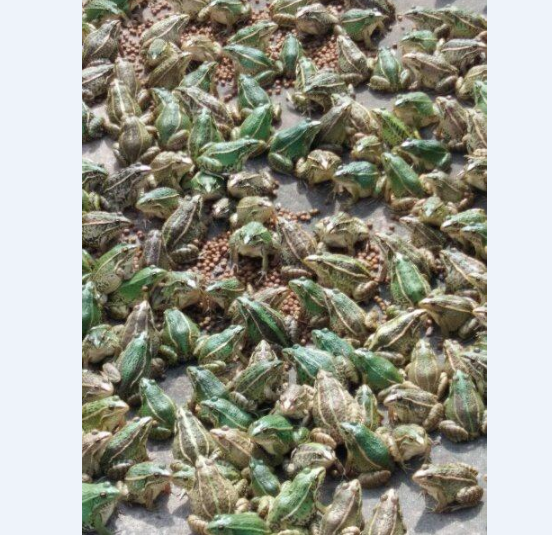 襄阳青蛙养殖基地