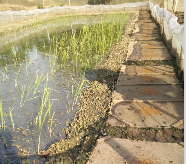 湖北青蛙养殖基地蛙苗
