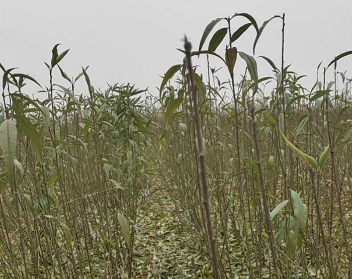 琪扬苗木浅谈新品桃树苗开展施肥时需认真对待