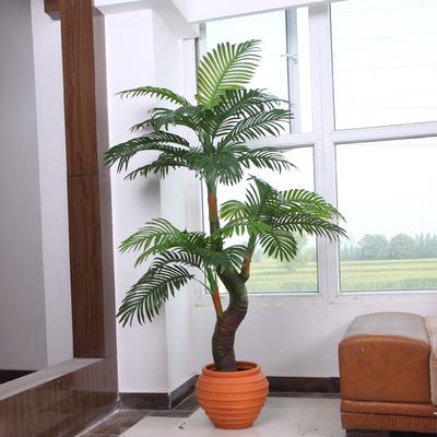 盆栽散尾葵