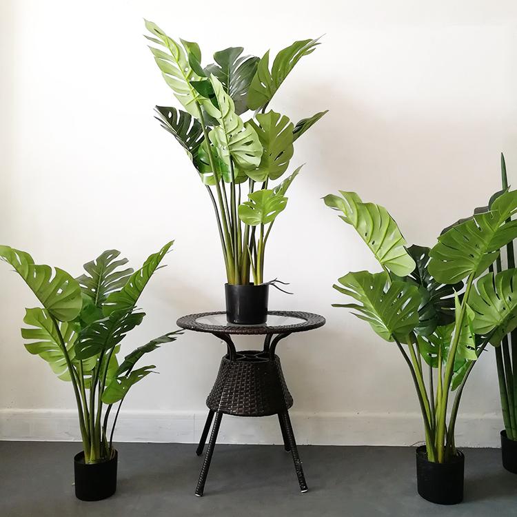 盆栽龟背叶