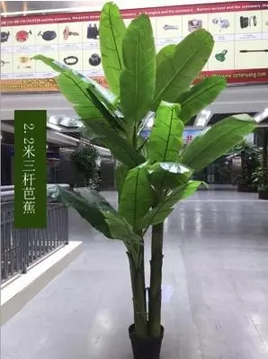 2.2米芭蕉树