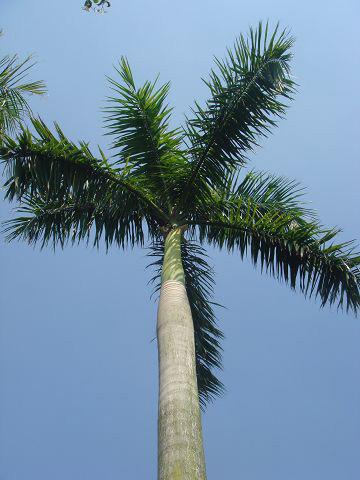 大型霸王椰