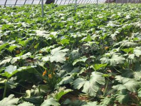 绿色有机蔬菜种植