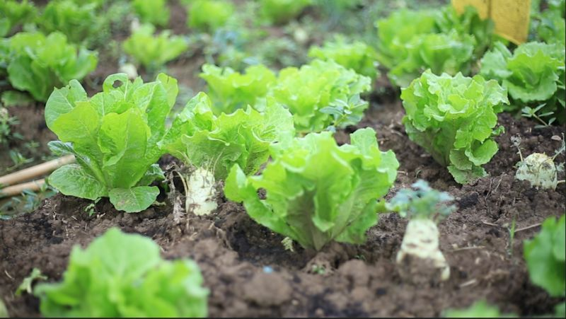 达到什么标准是有机蔬菜?怎么去种植?你了解吗?