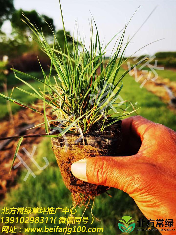 野牛草基地营养杯苗直供,质量优良!