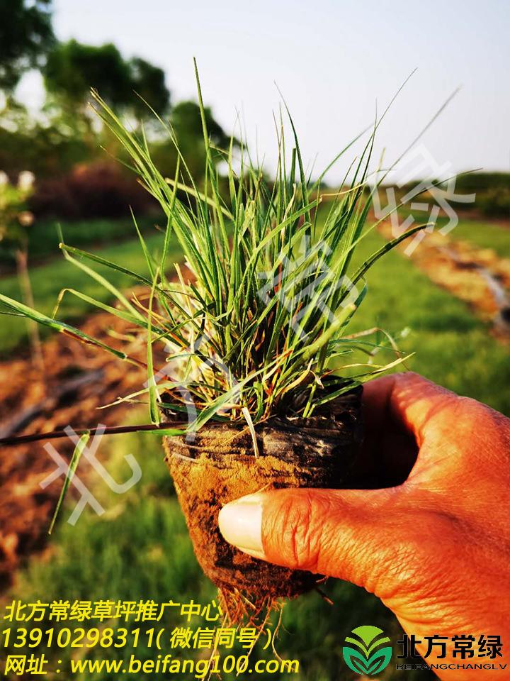 野牛草营养杯苗供应选北方常绿草坪