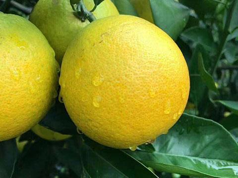 红心冰糖橙