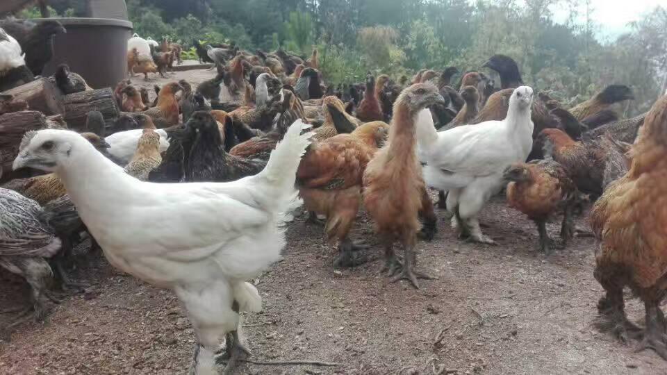 养殖土鸡苗的常见误区有哪些