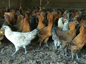 怎么確定土雞苗的品種?昆明雞苗批發廠來告訴你