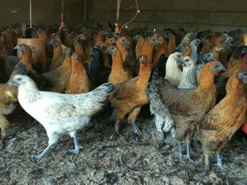 鸡苗养殖技巧有哪些