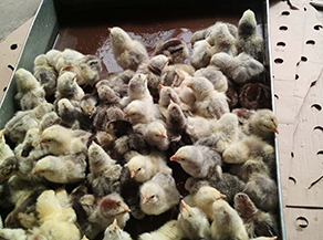 如何清洁鸡苗室