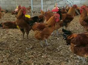 如何做好土鸡生长期的管理工作