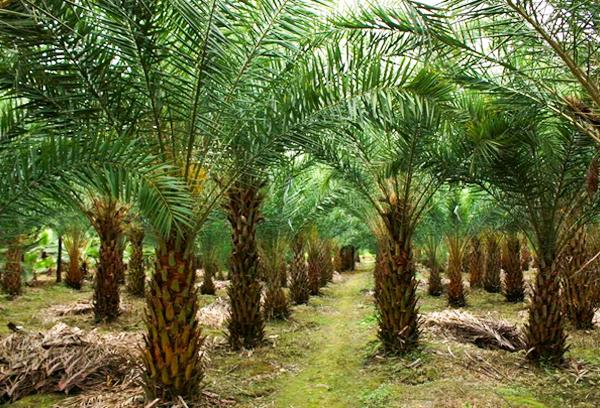 园林景观绿化常用植物-加拿利海枣