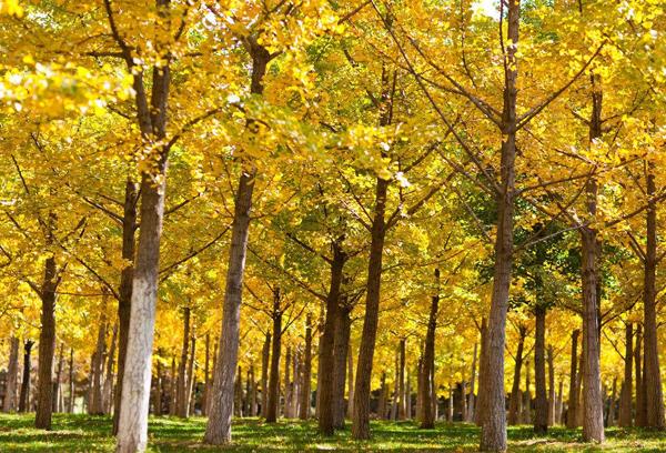 园林景观绿化常用植物-银杏