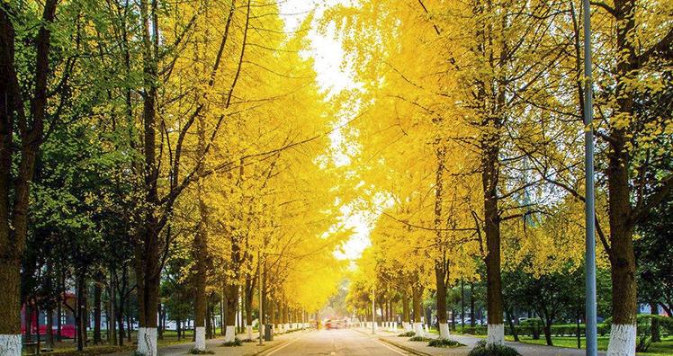云南园林景观绿化常用植物银杏