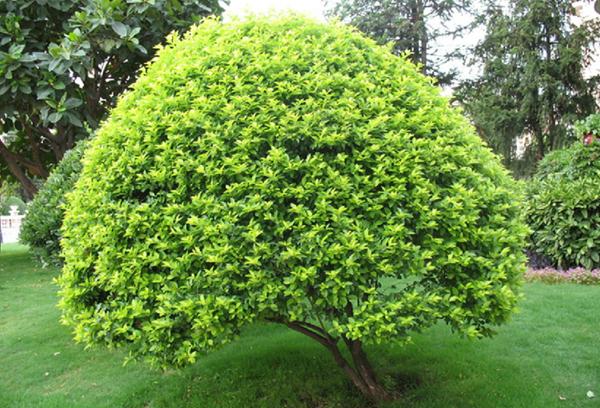 园林景观绿化常用植物-金叶女贞