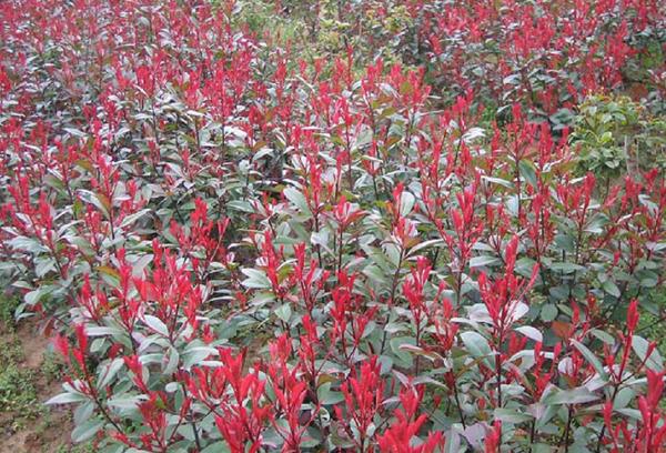 园林景观绿化常用植物-红叶石楠