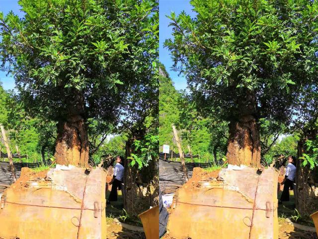 云南景观树