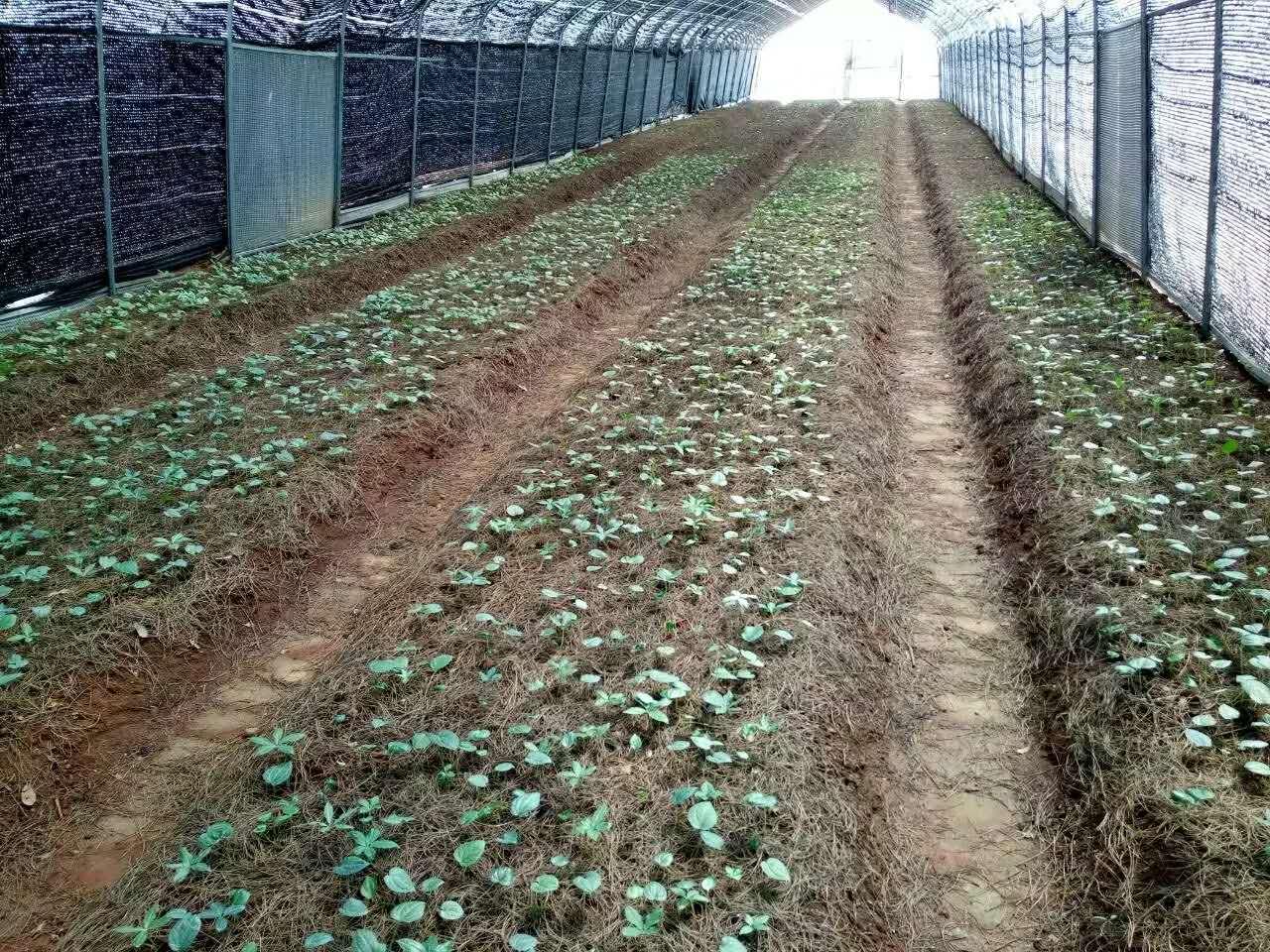 云南滇重楼种植基地优先选择地势较高排水良好的地段