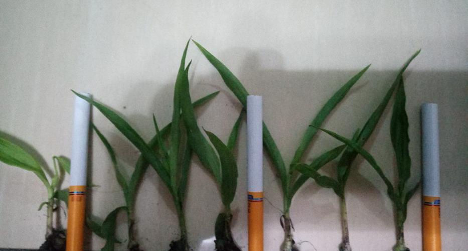 白芨种苗高度检测