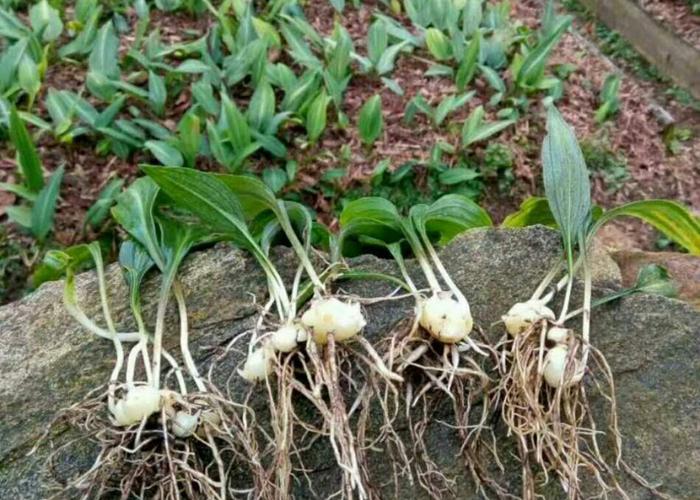 黄精带根种苗