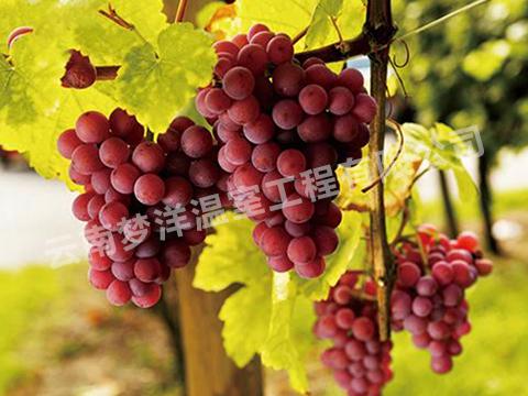 葡萄专用膜