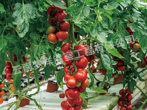 西红柿专用膜
