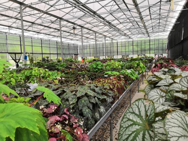 秋海棠类植物花卉大棚