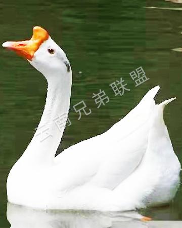昭通狮头鹅苗