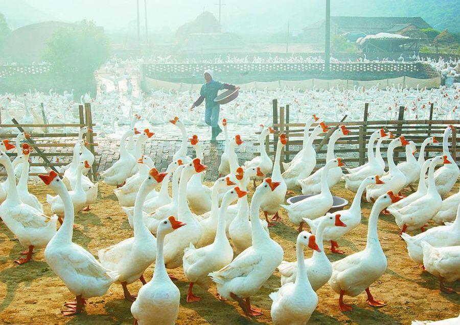 鹅苗养殖注意事项