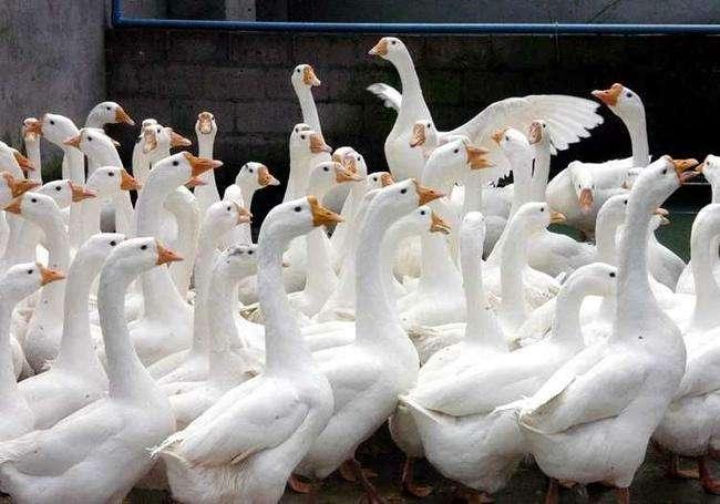 云南兄弟联盟禽业带你了解鹅苗价格的影响因素