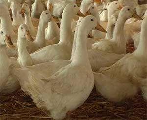 云南兄弟联盟禽业带你了解鸭苗品种