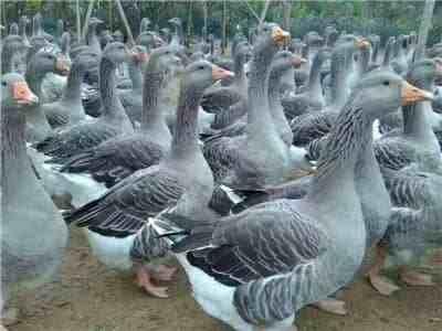 云南鹅苗厂家:你们的养鹅厂都用什么方式消毒