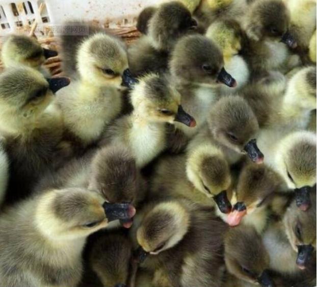 红河鹅苗厂家总结出来的朗德鹅的饲养管理的要点