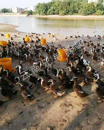 昆明麻鸭苗厂家教你如何养殖麻鸭,才能让它高产鸭蛋?