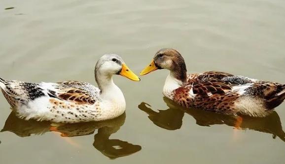 【鸭苗养殖技术】养鸭经验介绍:水鸭养殖方法