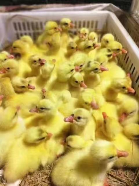 鹅苗养殖技术,养殖户一定要收藏!