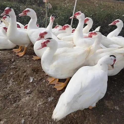 疫情影响不能到处走,还不如在家养鸭子!