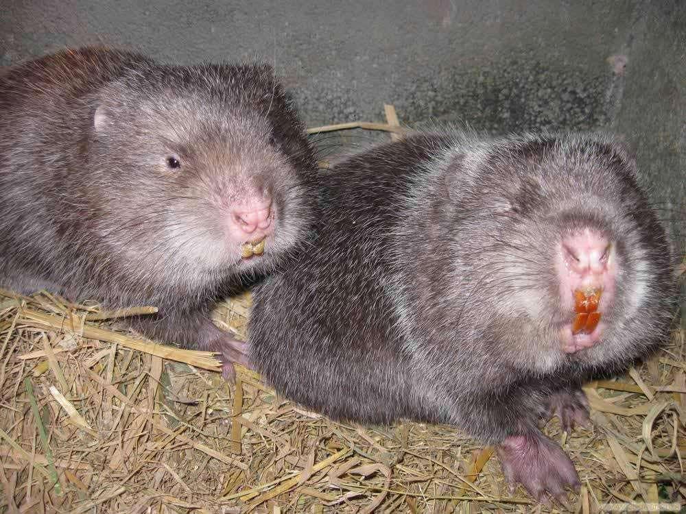 广受好评的文山竹鼠养殖是有哪些优势
